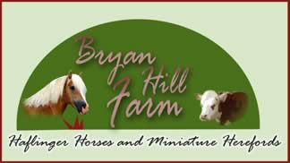 Bryan Hill Farm: Miniature Herford Cattle and Haflinger Horses
