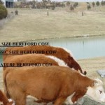 3_cows_size_chart_all_caps_bold_fs