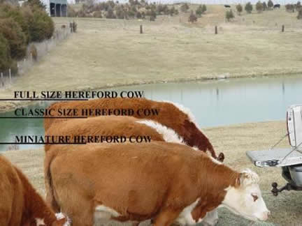 Comparison of cow sizes