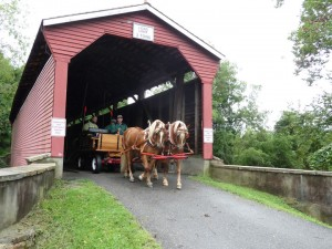 Haflinger Horses in Harness