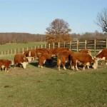 Minis-herd_1_fs