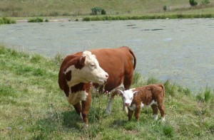 Miniature Hereford Cow and Calf