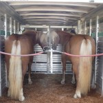 Haflinger Fair Hill 142